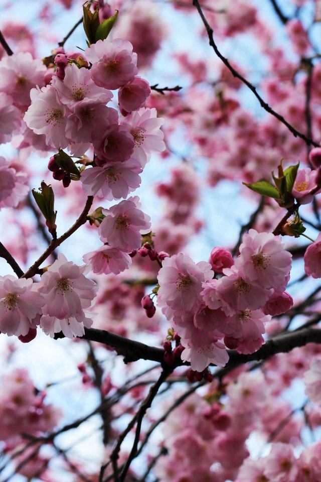 kungsträdgården-blommar